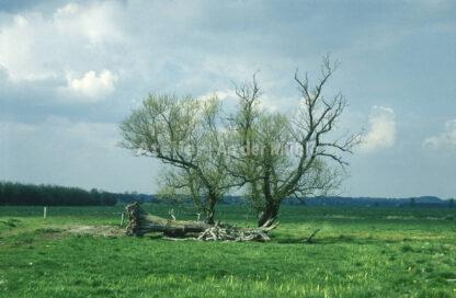 Bad Bederkesa Baum © Im Moor ©  Ilona Weinhold-Wackernah (VG Bild-Kunst Nr.- 2218881) - 000718.jpg