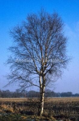Bad Bederkesa Birke im Wintermoor @ Im Moor © 2005 Ilona Weinhold-Wackernah (VG Bild-Kunst Nr.- 2218881) - 000713.jpg