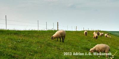 Fotografie Wremen Schafe © 2013 Adrian J.-G. Wackernah