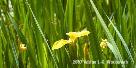 Fotografie Wangerooge Wasserblume © 2007 Adrian J.-G. Wackernah