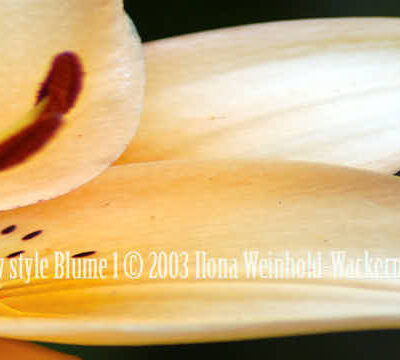 Fotografie new style Blume 1 © 2003 Ilona Weinhold-Wackernah (VG Bild-Kunst Nr.- 2218881) - 000862
