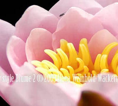 Fotografie new style Blume 2 © 2003 Ilona Weinhold-Wackernah (VG Bild-Kunst Nr.- 2218881) - 000863