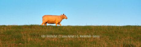Produktbild Föhr Deichschaf © 2004 Adrian J.-G. Wackernah - 001123