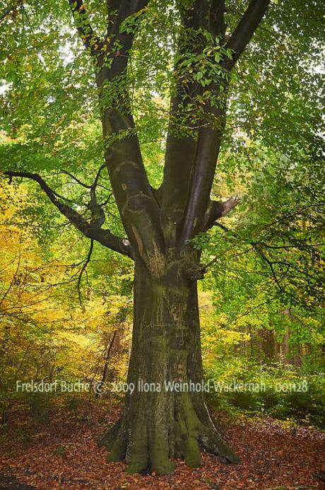 Fotografie Frelsdorf Buche © 2009 Ilona Weinhold-Wackernah - 001128