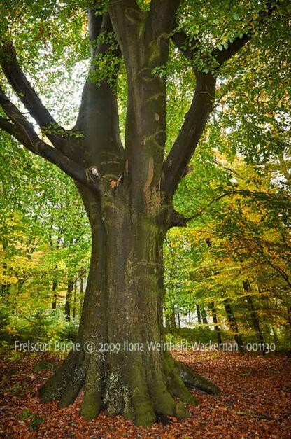 Fotografie Frelsdorf Buche © 2009 Ilona Weinhold-Wackernah - 001130