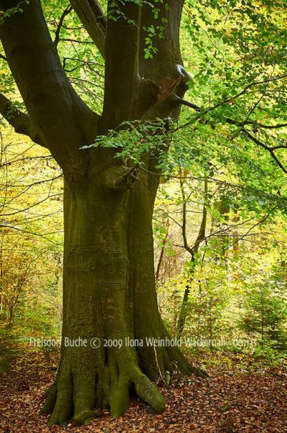 Fotografie Frelsdorf Buche © 2009 Ilona Weinhold-Wackernah - 001131