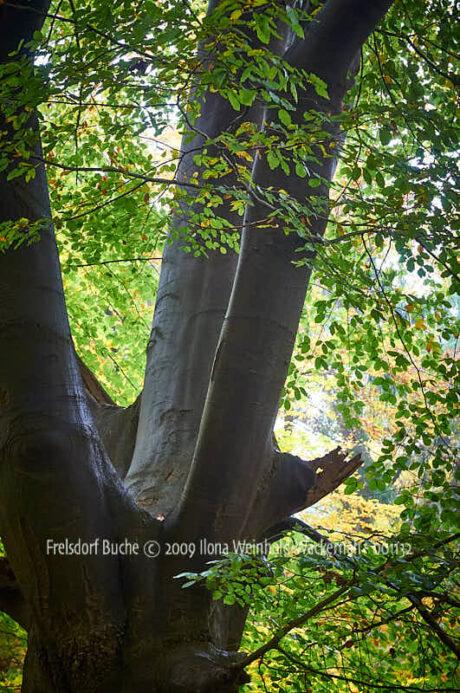 Fotografie Frelsdorf Buche © 2009 Ilona Weinhold-Wackernah - 001132