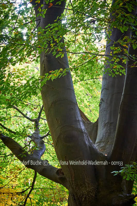 Fotografie Frelsdorf Buche © 2009 Ilona Weinhold-Wackernah - 001133