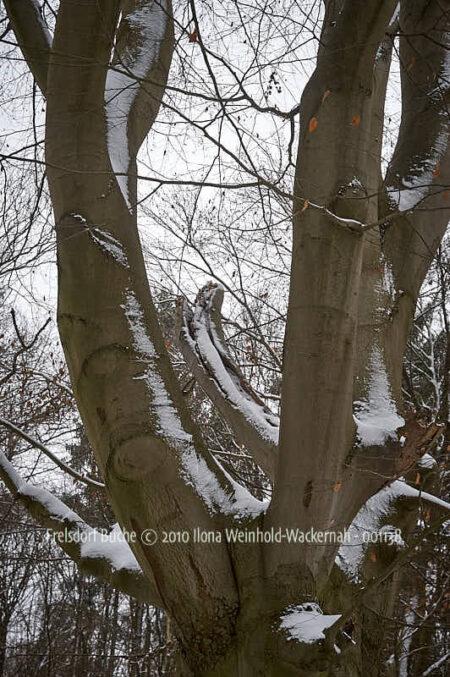 Fotografie Frelsdorf Buche © 2010 Ilona Weinhold-Wackernah - 001138