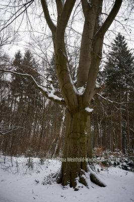 Fotografie Frelsdorf Buche © 2010 Ilona Weinhold-Wackernah - 001139