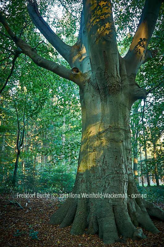 Fotografie Frelsdorf Buche © 2011 Ilona Weinhold-Wackernah - 001140