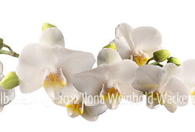 new style Fotografie Orchideen gelb-weiss © 2012 Ilona Weinhold-Wackernah - 000394
