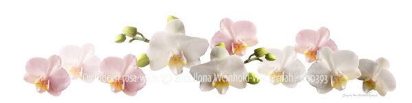 new style Fotografie Orchideen rosa-weiss © 2012 Ilona Weinhold-Wackernah - 000393