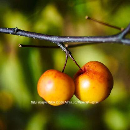 Produktbild Natur Zierapfel Makro © 2015 Adrian J.-G. Wackernah - 001191