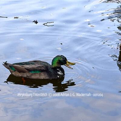 Fotografie Meyenburg Ententeich © 2008 Adrian J.-G. Wackernah - 001204