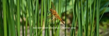 Fotografie Natur Libelle im Schilf © 2010 Adrian J.-G. Wackernah