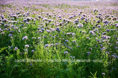 Produktbild Fotografie Loxstedt Blumenfeld © 2014 Ilona Weinhold-Wackernah - 001245