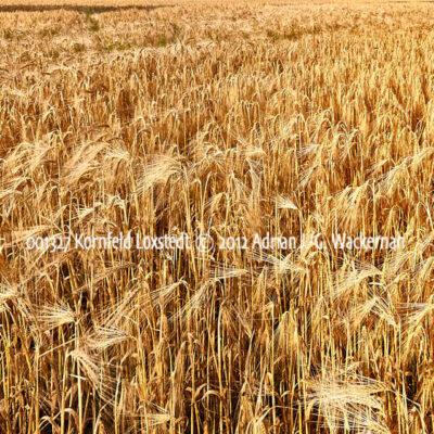 Produktbild Fotografie 001327 Kornfeld Loxstedt © 2012 Adrian J.-G. Wackernah